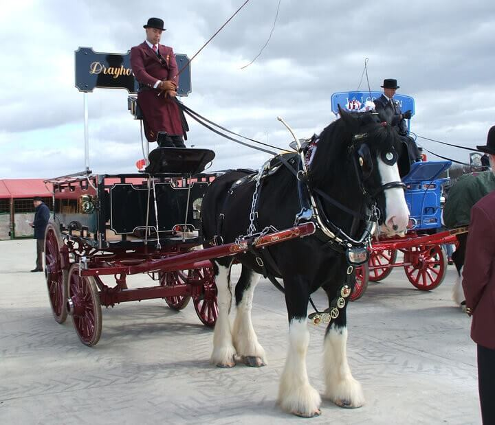 Drayhorse Shires can offer a pair of black shire horses with a variety of carriages - Drayhorse Shires Australia