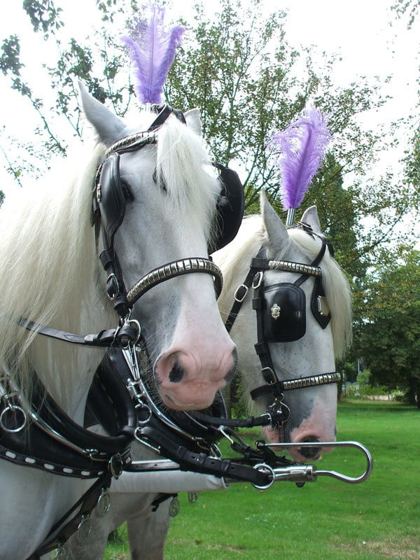 Drayhorse Shire Horses and Carriages for Hire or Sale - Brisbane, Gold Coast, Sunshine Coast, Northern NSW