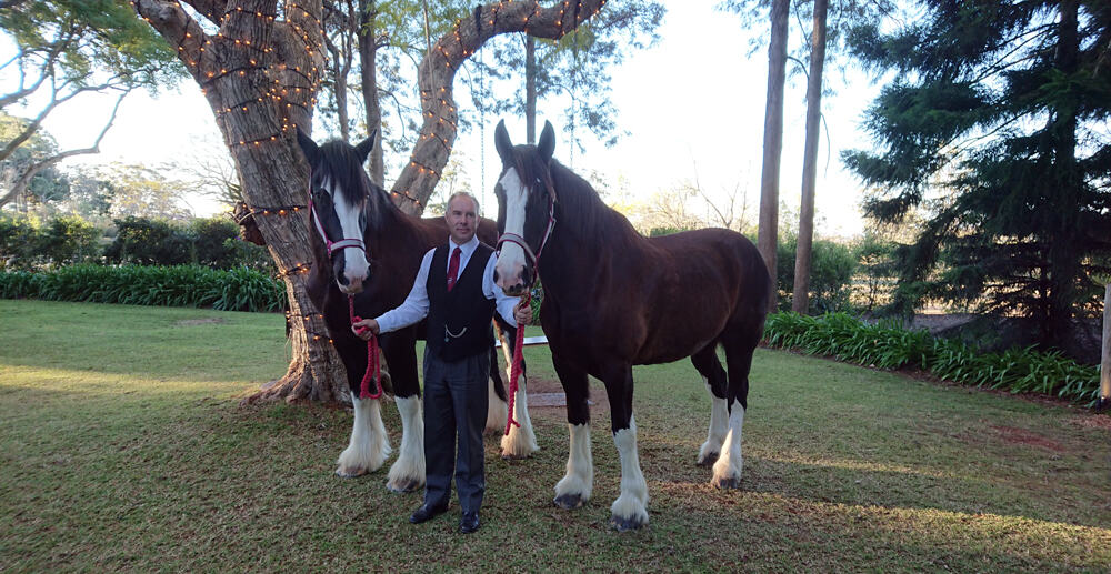 Ridden Wedding Horses - Drayhorse Shires Australia