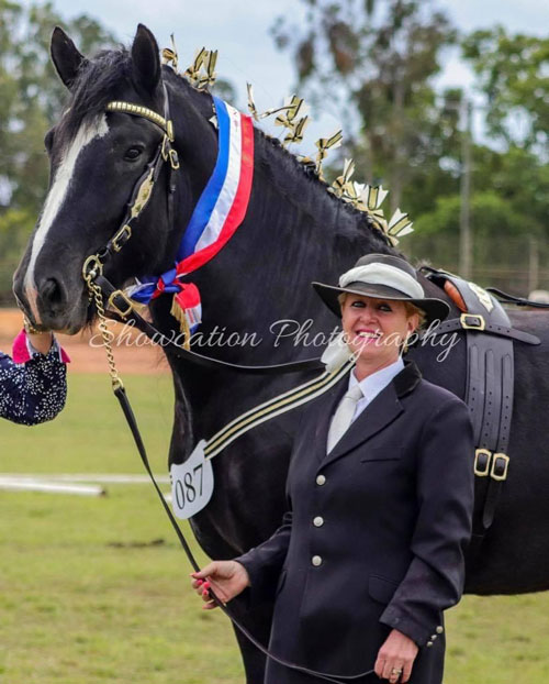 Drayhorse King of Spades UK and sShire Horse Society Australia fully approved black shire stallion King is sired by Ddrydwy Drayhorse Ace of Spades UK premium stallion.