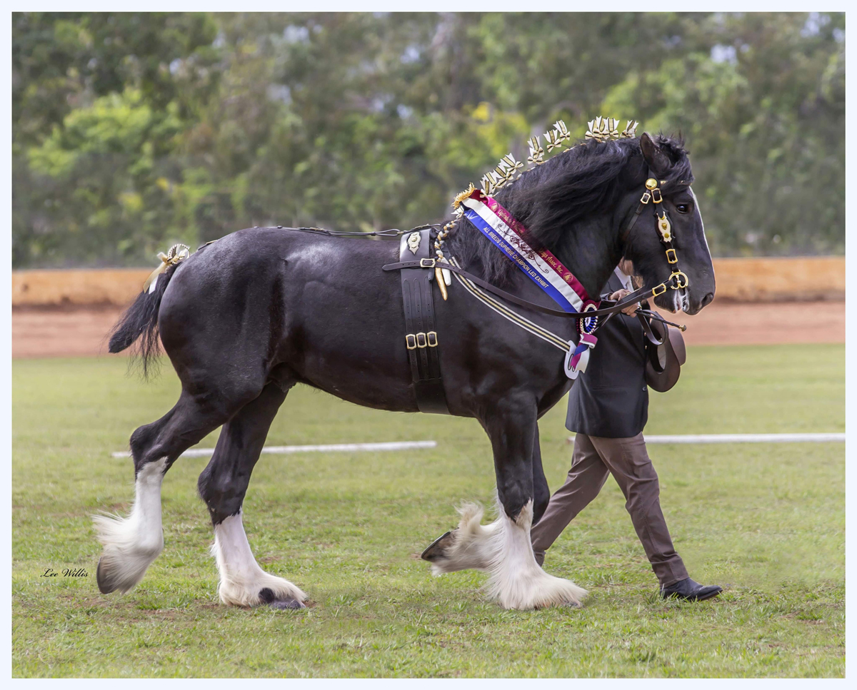 Drayhorse King of Spades Uk and shire horse Society Australia fully approved black shire stallion King is sired by Ddrydwy drayhorse ace of spades Uk premium stallion.